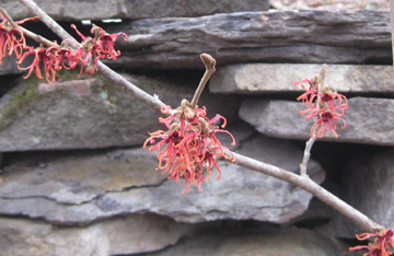 witch hazel 3