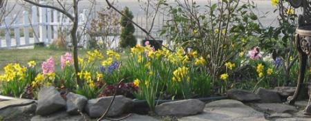 012 daffodils four