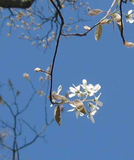 04 serviceberry closeup