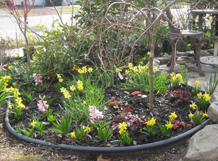 09 daffodils two